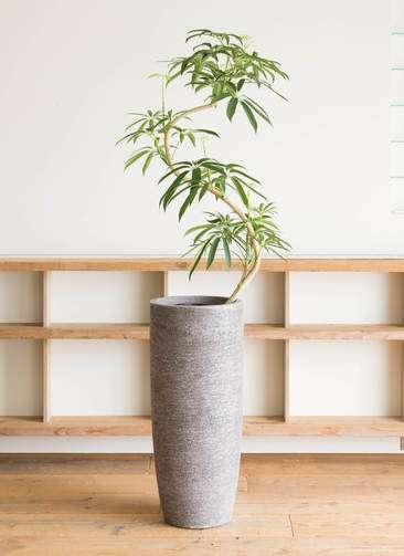 観葉植物 シェフレラ アンガスティフォリア 8号 曲り エコストーントールタイプ Gray 付き