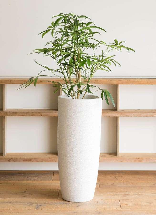 観葉植物 シェフレラ アンガスティフォリア 7号 ボサ造り エコストーントールタイプ white 付き