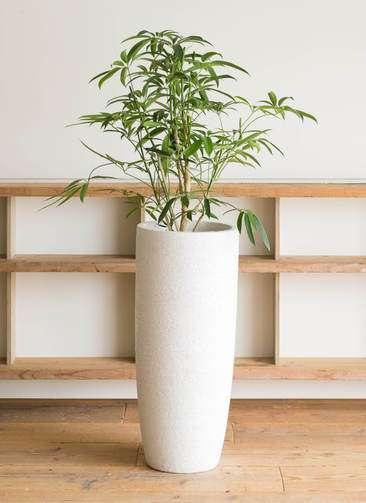 観葉植物 シェフレラ アンガスティフォリア 7号 エコストーントールタイプ white 付き