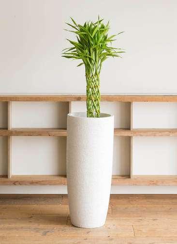 観葉植物 ドラセナ ミリオンバンブー(幸運の竹) 7号 エコストーントールタイプ white 付き