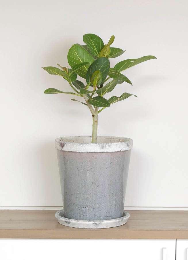 観葉植物 フィカス ベンガレンシス 6号 ストレート アンティークテラコッタGray 付き