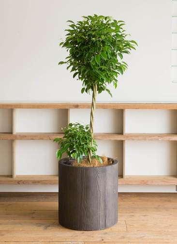 観葉植物 フィカス ベンジャミン 10号 アルファシリンダープランター 付き
