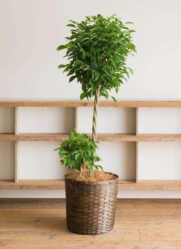 観葉植物 フィカス ベンジャミン 10号 竹バスケット 付き