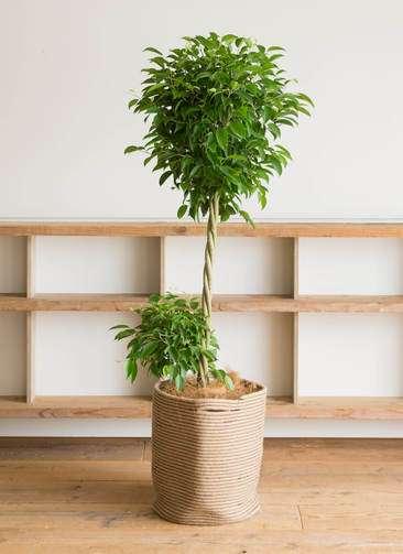 観葉植物 フィカス ベンジャミン 10号 リブバスケットNatural 付き