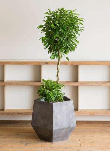 観葉植物 フィカス ベンジャミン 10号 ファイバークレイGray 付き