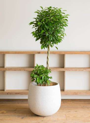 観葉植物 フィカス ベンジャミン 10号 エコストーンwhite 付き