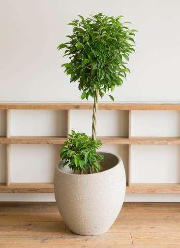 観葉植物 フィカス ベンジャミン 10号 玉造り エコストーンLight Gray 付き