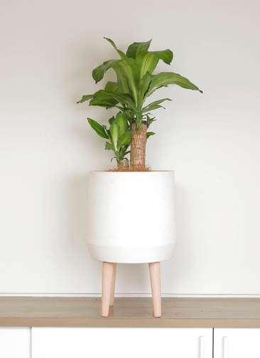 観葉植物 ドラセナ 幸福の木 6号 ファイバークレイwhite 付き