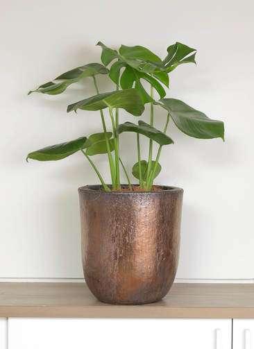 観葉植物 モンステラ 6号 ビトロ ウーヌム コッパー釉 付き