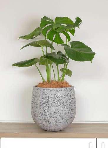 観葉植物 モンステラ 6号 ボサ造り エコストーンGray 付き