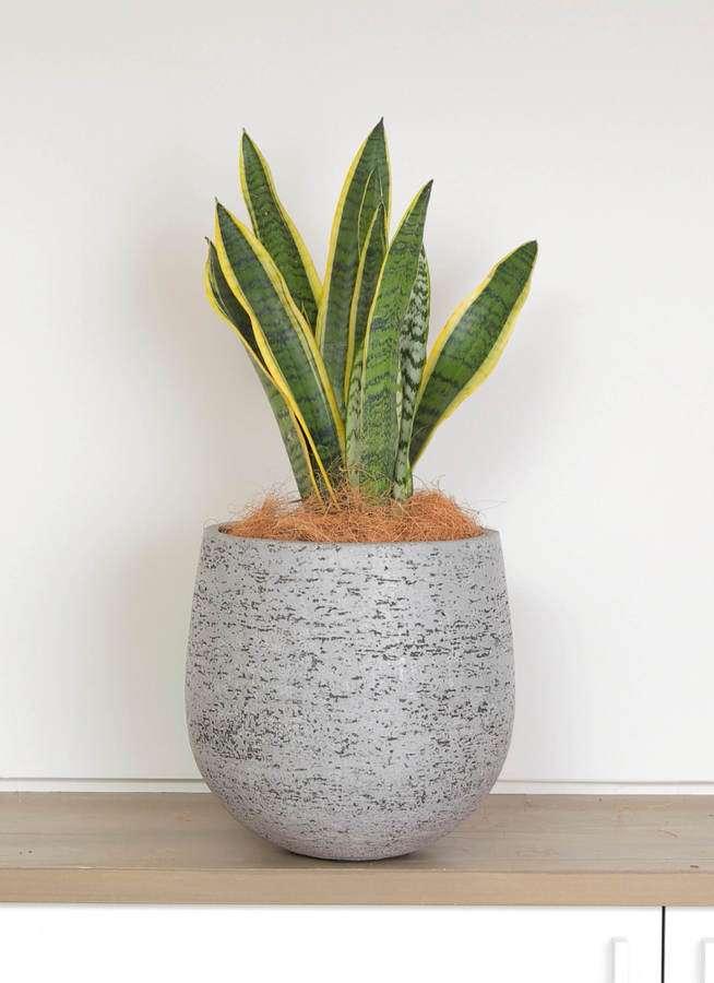 観葉植物 サンスベリア 6号 トラノオ エコストーンGray 付き