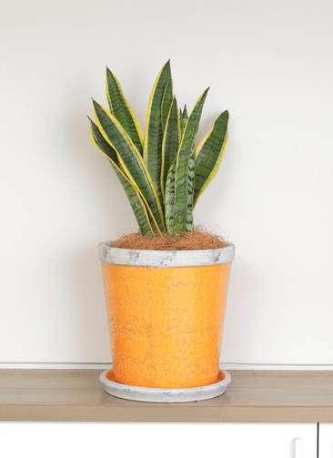 観葉植物 サンスベリア 6号 アンティークテラコッタOrange 付き