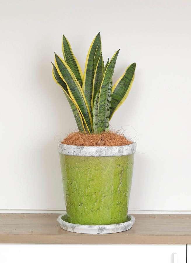観葉植物 サンスベリア 6号 トラノオ アンティークテラコッタGreen 付き