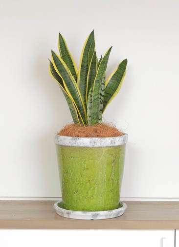 観葉植物 サンスベリア 6号 アンティークテラコッタGreen 付き