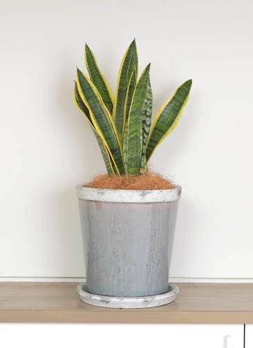 観葉植物 サンスベリア 6号 トラノオ アンティークテラコッタGray 付き