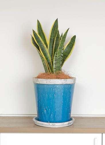 観葉植物 サンスベリア 6号 トラノオ アンティークテラコッタBlue 付き