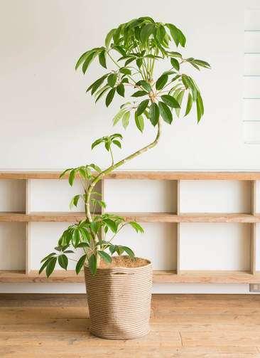 観葉植物 ツピダンサス 10号 曲り リブバスケットNatural 付き