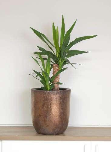 観葉植物 ユッカ 6号 ビトロ ウーヌム コッパー釉 付き