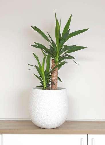 観葉植物 ユッカ 6号 エコストーンwhite 付き