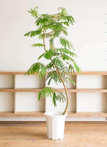観葉植物 エバーフレッシュ 曲り10号 プラスチック鉢