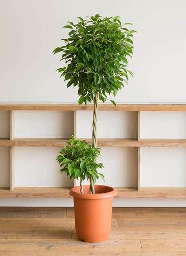 観葉植物 フィカス ベンジャミン 10号 プラスチック鉢