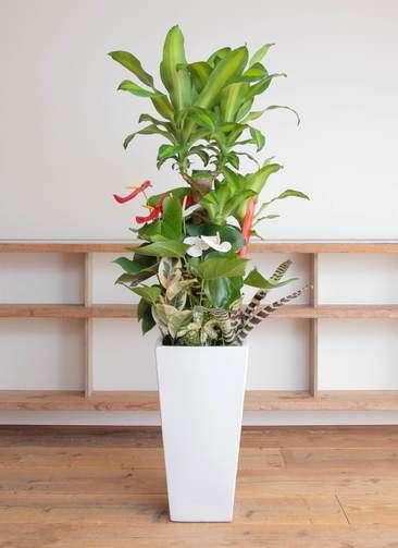 観葉植物 ドラセナ 幸福の木 寄せ植え(紅白アンスリウム入り) 10号 角高陶器