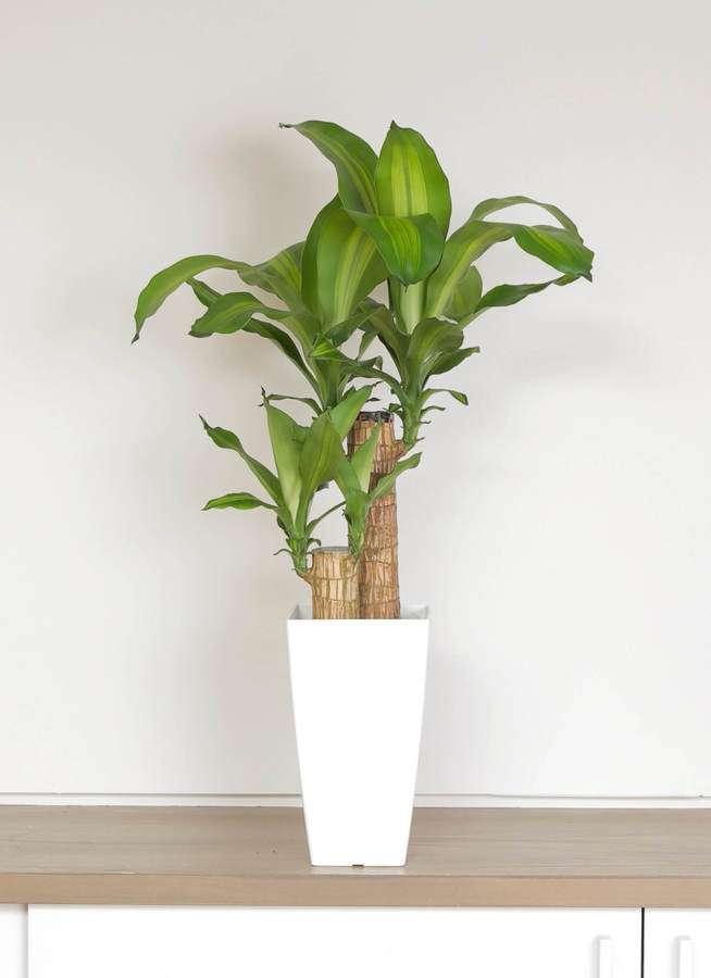 観葉植物 ドラセナ 幸福の木 6号 ノーマル 白角鉢