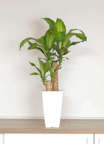 観葉植物 ドラセナ 幸福の木 6号 ノーマル 角プラスチック鉢