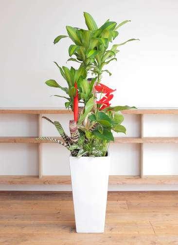 観葉植物 ドラセナ 幸福の木 寄せ植え 10号 角高陶器
