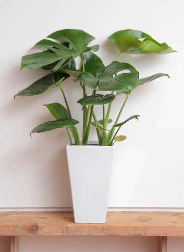 観葉植物 モンステラ 6号 角陶器