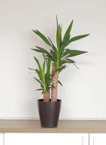 観葉植物 ユッカ 6号 プラスチック鉢