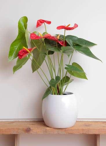 観葉植物 アンスリウム 6号 ダコタ 陶器丸鉢カバー