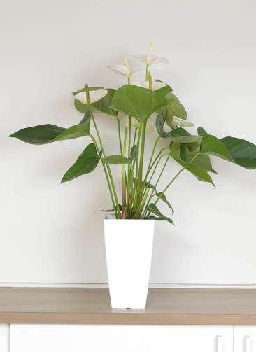 観葉植物 アンスリウム 6号 スミ 白角鉢
