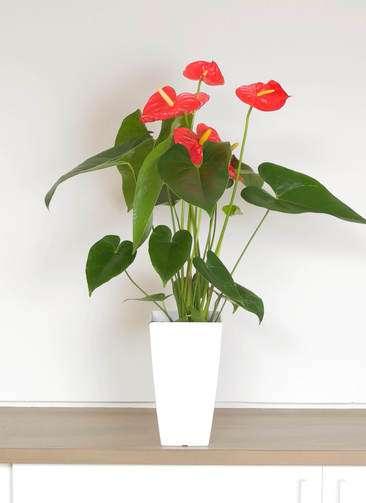 観葉植物 アンスリウム 6号 ダコタ プラスチック鉢