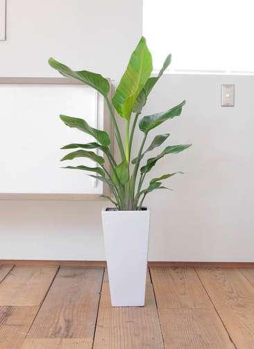 観葉植物 オーガスタ 7号 角高陶器