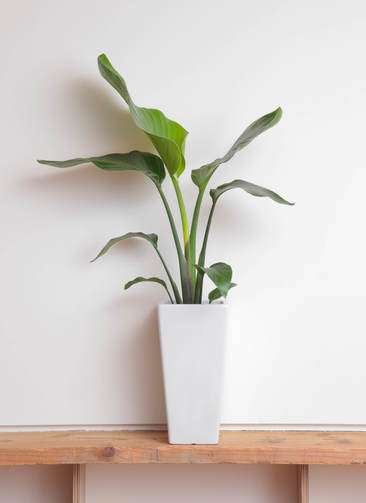 観葉植物 オーガスタ 6号 角高陶器