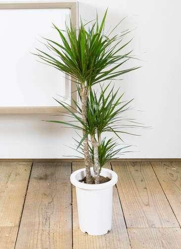 観葉植物 ドラセナ コンシンネ 7号 プラスチック鉢