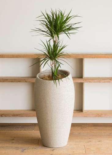 観葉植物 ドラセナ コンシンネ 7号 エコストーンLight Gray 付き