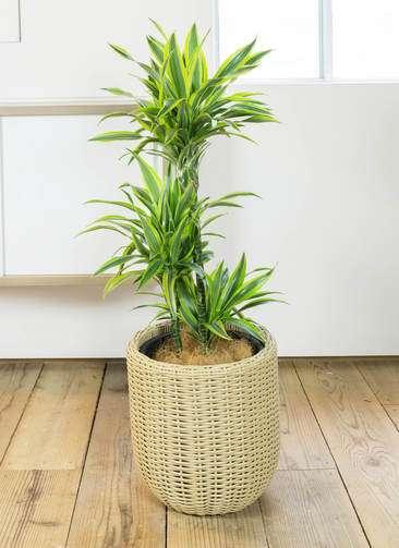 観葉植物 ドラセナ ワーネッキー レモンライム 8号 ウィッカーポット エッグ NT ベージュ 付き