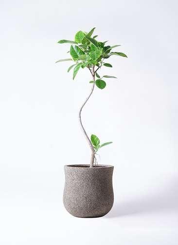 観葉植物 フィカス アルテシーマ 8号 曲り アローナラウンド グレイ 付き