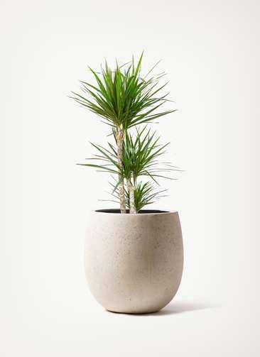 観葉植物 ドラセナ コンシンネ 7号 テラニアス バルーン アンティークホワイト 付き