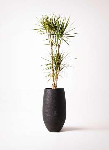 観葉植物 ドラセナ コンシンネ 8号 フォンティーヌトール 黒 付き