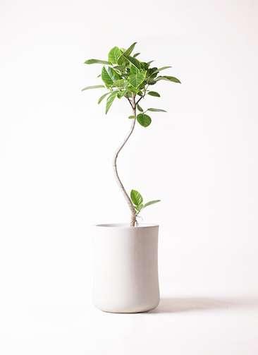 観葉植物 フィカス アルテシーマ 8号 曲り バスク ミドル ホワイト 付き