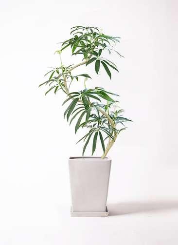 観葉植物 シェフレラ アンガスティフォリア 8号 曲り LO スクエア 付き