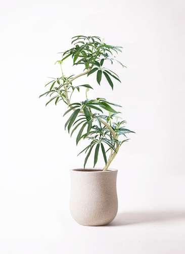観葉植物 シェフレラ アンガスティフォリア 8号 曲り アローナラウンド 白 付き