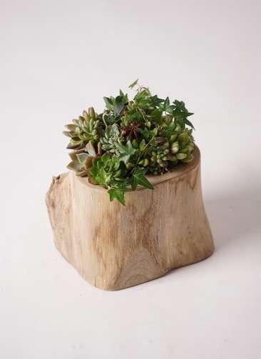 多肉植物 寄せ植え Teak Wood Original #001