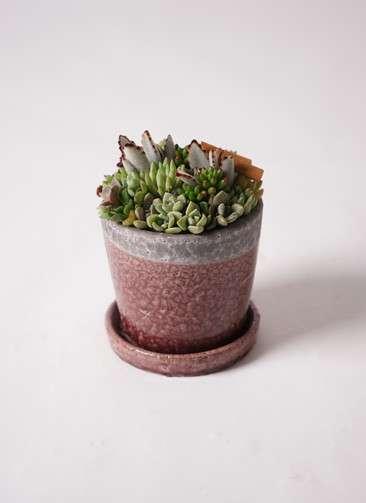 多肉植物 寄せ植え クレーパ4号 受け皿付き 紫 #001