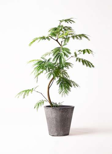 観葉植物 エバーフレッシュ 8号 曲り フォリオソリッド ブラックウォッシュ 付き