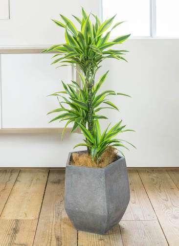 観葉植物 ドラセナ ワーネッキー レモンライム 8号 ファイバークレイGray 付き