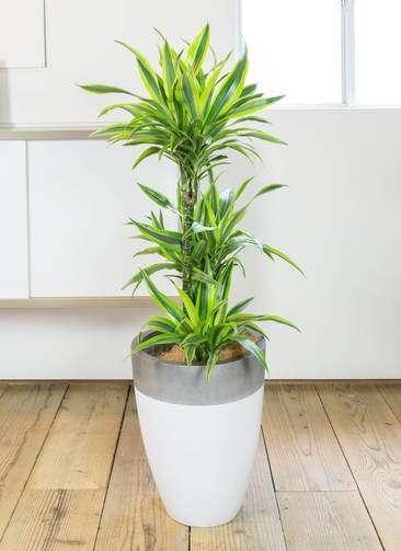 観葉植物 ドラセナ ワーネッキー レモンライム 8号 ファイバーストーン カプリ サンディホワイト 付き